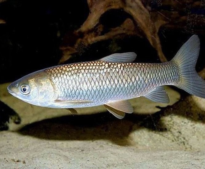 Личинка белого амура, рыбхоз Березовский