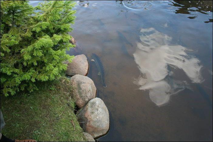 Выращивание осетра рыбхоз Березовский