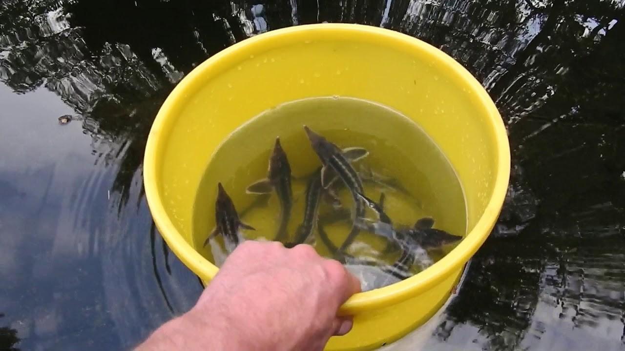 Выращивание осетра рыбное хозяйство